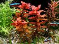 Photo Giant Red Rotala  characteristics