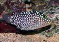 Photo Spotted Puffer (Hawaiian White Spotted Toby) description