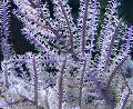 Photo Purple Whip Gorgonian sea fans description
