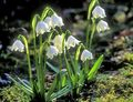 white Spring Snowflake, St. Agnes' Flower / Leucojum Photo