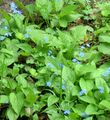 light blue Garden Flowers False forget-me-not / Brunnera macrophylla Photo