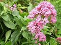 pink Garden Flowers Jupiter's Beard, Keys to Heaven, Red Valerian / Centranthus ruber Photo