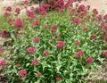 red Garden Flowers Jupiter's Beard, Keys to Heaven, Red Valerian / Centranthus ruber Photo