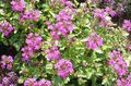 pink Garden Flowers Rose Verbena, Clump Verbena, Homestead Verbena / Verbena canadensis Photo