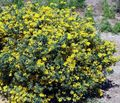 yellow Garden Flowers Crown Vetch / Coronilla Photo
