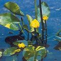 Photo Southern Spatterdock, Yellow Pond Lily, Yellow Cow Lily description