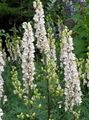white Garden Flowers Monkshood / Aconitum Photo