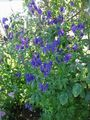 blue Garden Flowers Monkshood / Aconitum Photo