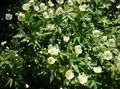 white Garden Flowers Canada Anemone, Meadow Anemone / Anemone canadensis Photo