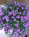 Photo Petunia Fortunia description