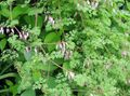 Photo Allegheny Vine, Climbing Fumitory, Mountain Fringe description