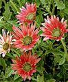 red Garden Flowers Cape Daisy, Monarch of the Veldt / Arctotis Photo