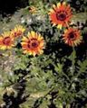 orange Garden Flowers Cape Daisy, Monarch of the Veldt / Arctotis Photo