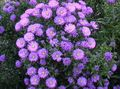 lilac Garden Flowers Aster Photo