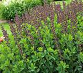 burgundy Garden Flowers False indigo / Baptisia Photo