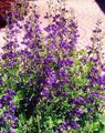 purple Garden Flowers False indigo / Baptisia Photo