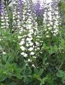 white Garden Flowers False indigo / Baptisia Photo