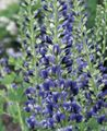 blue Garden Flowers False indigo / Baptisia Photo