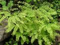 Northern Maidenhair Fern, Five-finger fern, Five-fingered Maidenhair, American Maidenhair