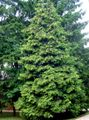 Photo Thuja description