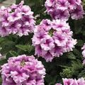 Photo Verbena Herbaceous Plant description