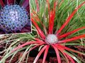 Photo Fascicularia bicolor Herbaceous Plant description