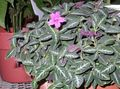 pink Indoor Plants, House Flowers Monkey Plant, Red ruellia Photo