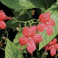 red Indoor Plants, House Flowers Monkey Plant, Red ruellia Photo
