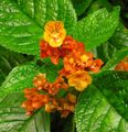 Photo Chrysothemis Herbaceous Plant description