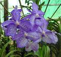 Photo Vanda Herbaceous Plant description