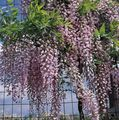 Photo Wisteria Liana description