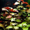 Photo Creeping ludwigia, Narrow-leaf ludwigia  description