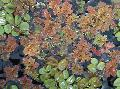 Photo Fairy Moss Azolla ferns description