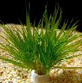 Aquarium  Blyxa japonica Photo