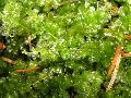 Photo mosses Mini-Perlenmoos growing and characteristics