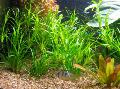 Aquarium  Juncus repens Photo