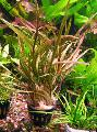 Aquarium  Cryptocoryne retrospiralis Photo