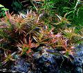 Photo  Ludwigia arcuata growing and characteristics