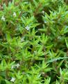 Photo  Water crassula growing and characteristics