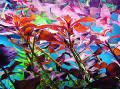 Photo Glandular ludwigia, Red star ludwigia  description