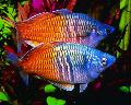 Les Poissons d'Aquarium Boesemans Rainbowfish Photo