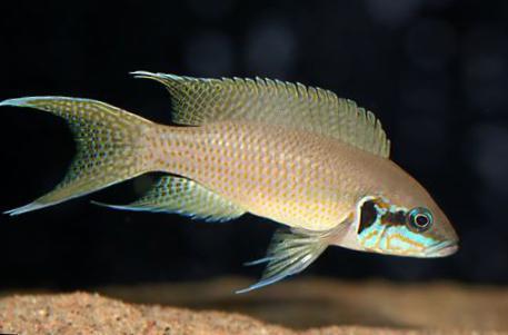 �9�e������i���9���.ly�)��,_观赏鱼 lyretail鲷,公主鲷 / neolamprologus bricha