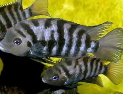 fisk med striber
