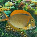 Photo Black Spot Tang description
