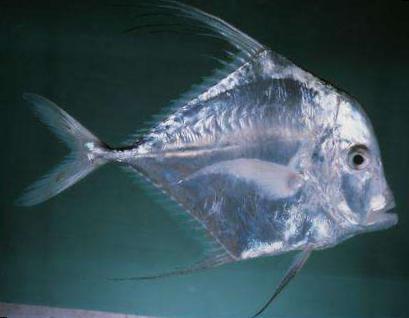 acquistare en l nea trasparente pesci d 39 acquario indian
