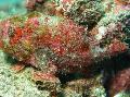 Les Poissons d'Aquarium Frogfish Taches De Rousseur Photo