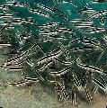 Photo Coral Catfish characteristics