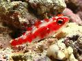 Aquarium Fishes Red Spotted Goby Photo
