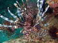 Aquarium Fishes Russell's Lionfish Photo