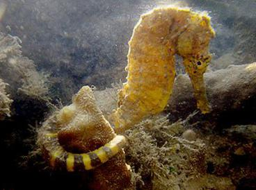 Acquistare en l nea giallo pesci d 39 acquario tiger tail for Foto cavalluccio marino